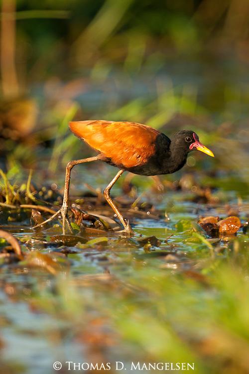 A wattled jacana walks through a marsh in the Pantanal, Mato Grosso, Brazil.