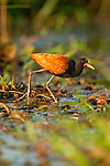 A wattled jacana walks through a marsh in the Pantanal, Mato Grosso, Brazil.