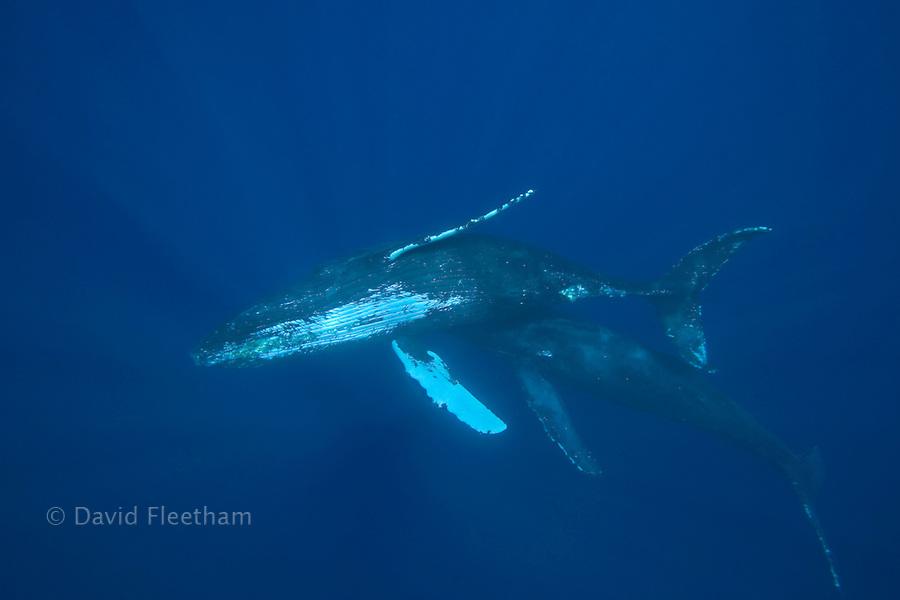 Humpback whales, Megaptera novaeangliae.  Hawaii.