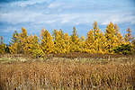 Grove of Tamarack trees, Eastern Larch in earl;y autumn