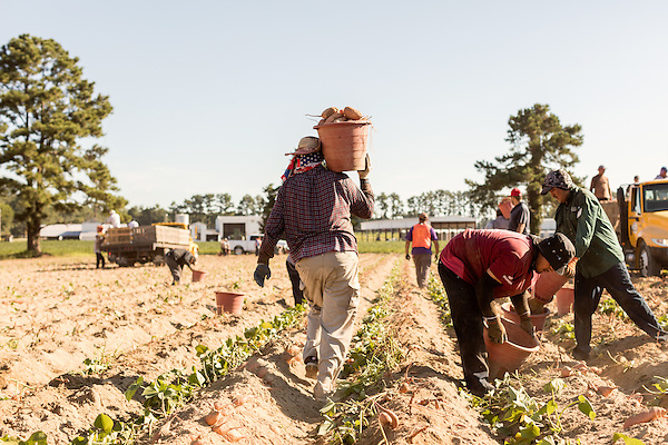 August 22, 2016. Wilson, North Carolina<br />  One the first day of harvest, workers pull sweet potatoes from a field managed by Vick Family Farms. In all, the family has 1500 acres of sweet potato crops. <br />  Vick Family Farms uses Greenlight provided broadband to monitor its tobacco drying barns as well as run its large sweet potato operation. If they lose the network due to recent legal suits brought by the telecom industry on the city of Wilson, who provides the fiber optic broadband, they may be unable to run the business with near the level of efficiency.<br />  Greenlight Community Broadband is a fiber optic internet service provider owned by the city of Wilson, NC. Popular with residents for its reliability and speed, the city started offering the service to towns outside of its municipal limits before a court case brought by the telecom industry took away the city's ability to expand beyond its borders. Several businesses and residents who have come to rely on the utility fear for their livelihoods if the service is discontinued.