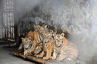 One year old cubs in cages at the Xiongshen Tiger and Bear Park in Guilin China. The park has farmed 1500 tigers and sells an illegal tiger bone wine to tourists that visit the park.