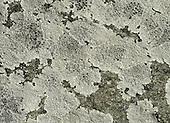Black Shields Lichen - Tephromela atra