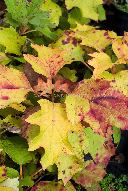 Hydrangea quercifolia 'Little Honey' fall foliage