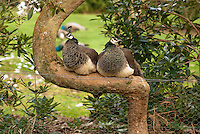 Female peacock birds hens, poultry, two, more than one, perched roosting in tree branch behind chicken wire fence
