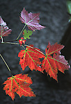 Fall Maple Leaves -Red