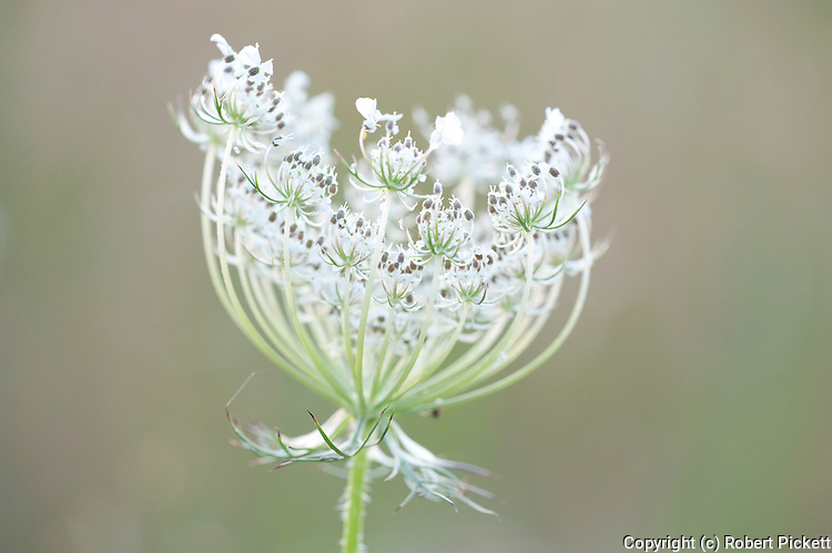 Flowering head of Apiaceae or Umbelliferae, Fagaras Mountains, Transylvanian Carpathians Alps, Romania,