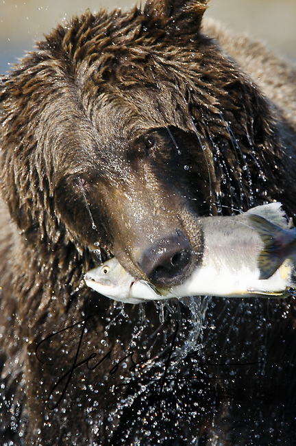A picture of a grizzly shaking the water off his body while holding a salmon in its mouth. Grizzly Bear or brown bear alaska Alaska Brown bears also known as Costal Grizzlies or grizzly bears