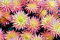 Dahlias variety Tropic Sun. Swan Island Dahlia Farm. Oregon