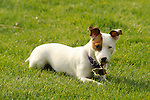 Emma- Jack Russel Terrier with piece of turf in mouth.