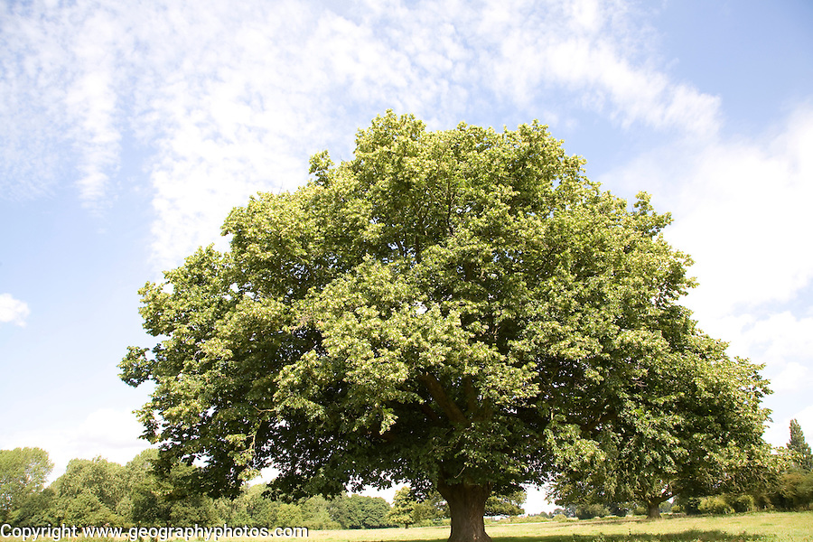 Sycamore tree summer