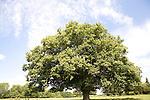 Sycamore tree summer