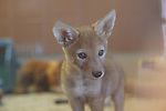 Male coyote pup at the Living Desert rehabilitation center