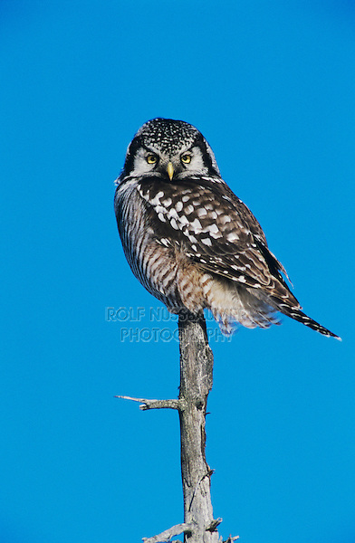 Northern Hawk Owl, Surnia ulula, adult on perch, Kenai Penninsula, Alaska, USA