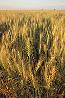 Golden Wheat in the Evening
