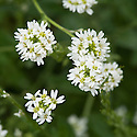"Perennial candytuft (Iberis sempervirens), mid June. ""Candy"" comes from Candia, an early name for Heraklion on the Greek island of Crete."