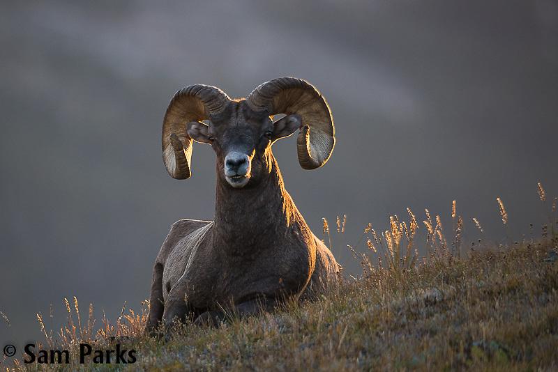 Bighorn sheep ram bedded on alpine tundra. Rocky Mountain National Park, Colorado.