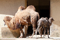 Amelia, femmina di Cammello della Battriana, nata lo scorso 25 marzo, con la madre Soraya al Bioparco di Roma, 10 aprile 2013..Amelia, a baby female Bactrian Camel born on last 25 March, stands past her mother Soraya at Rome's Bioparco, 10 April 2013..UPDATE IMAGES PRESS/Riccardo De Luca
