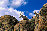 Mountain Goat Billy and Nanny (Oreamnos americanus), aka Rocky Mountain Goats, resting on Rocky Cliff, Cathedral Provincial Park, BC, British Columbia, Canada
