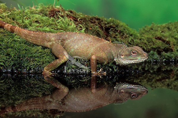 Chinese Water Dragon/Asian Water Dragon..Southest Asia. Captive..(Physignathus cocincinus).