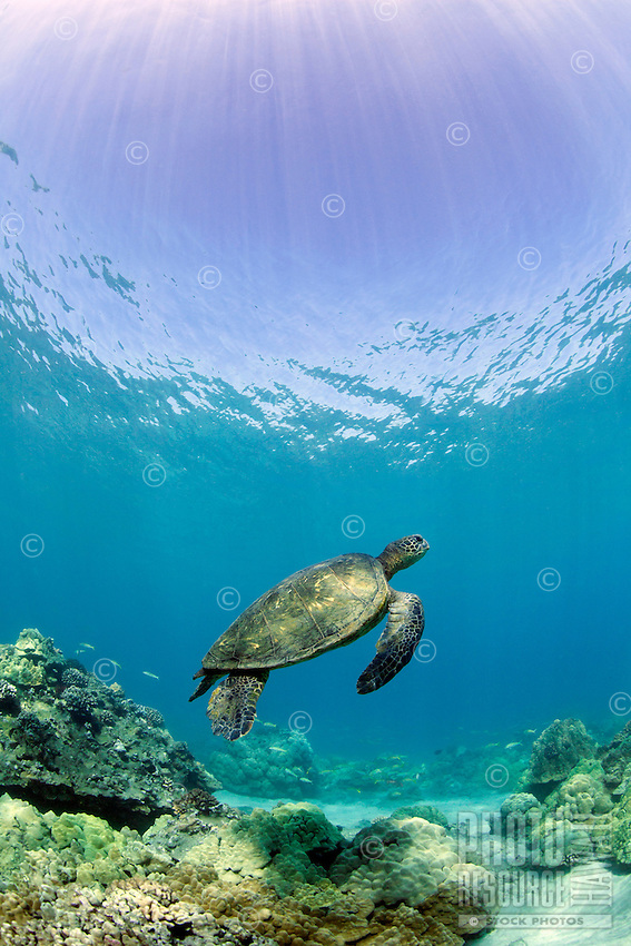 Green sea turtle swims with sun rays and coral at Makena, Maui.