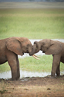 Nature photograph of two young African elephants (Loxodonta africana) playing together in Tarangire National Park, Tanzania