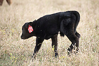 Beef cattle on South Farm, calf identifying.