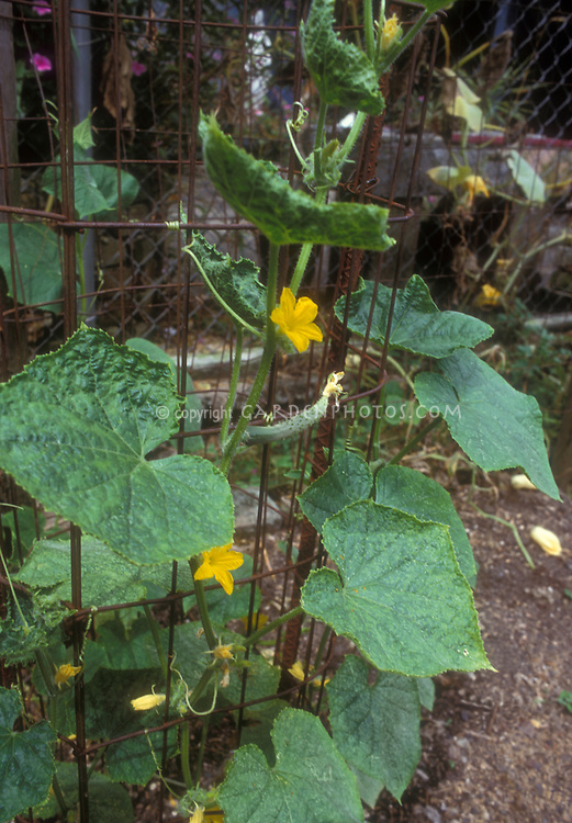 Pickling cucumbers in garden on supported cage trellis, showing flowers and vegetables forming, with plant leaves