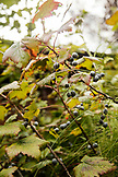 USA, Alaska, Homer, China Poot Bay, Kachemak Bay, fresh Hubckleberries found at the Kachemak Bay Wilderness Lodge