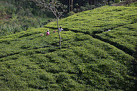 KENYA, Kisumu County, Kaimosi, women harvest tea leaves in teagarden / KENIA Frauen ernten Tee in einem kleinen Teegarten