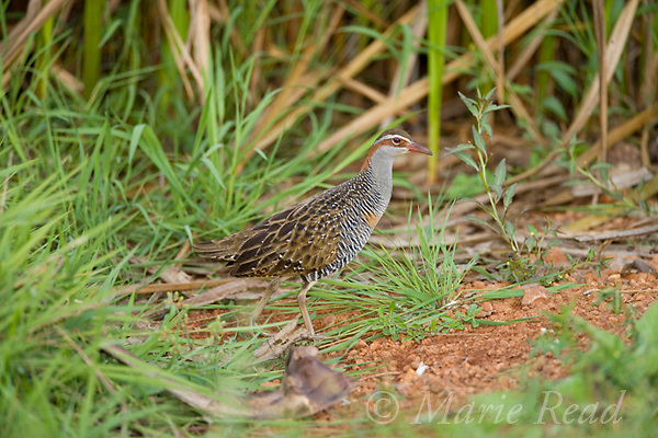 Buff-banded Rail (Gallirallus phillipensis), Fogg Dam, near Darwin, Northern Territory, Australia