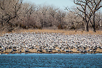 The Sandhill Crane Migration in March along the Platte River near Kearney Nebraska.