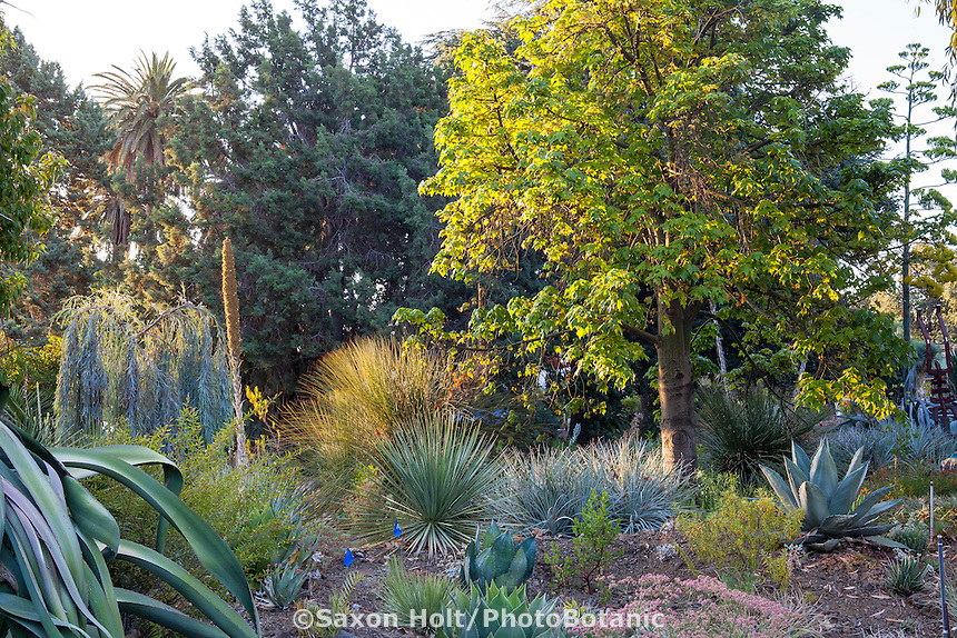 Brachychiton discolor x acerifolius (Flame tree) with various Agave and Dasylirion in Bancroft Garden