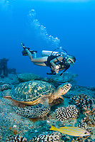 A diver (MR) and green sea turtles, Chelonia mydas, on the wreck of the YO-257 off Waikikik Beach, Oahu, Hawaii, USA, Pacific Ocean