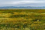 Carizzo Plain Superbloom
