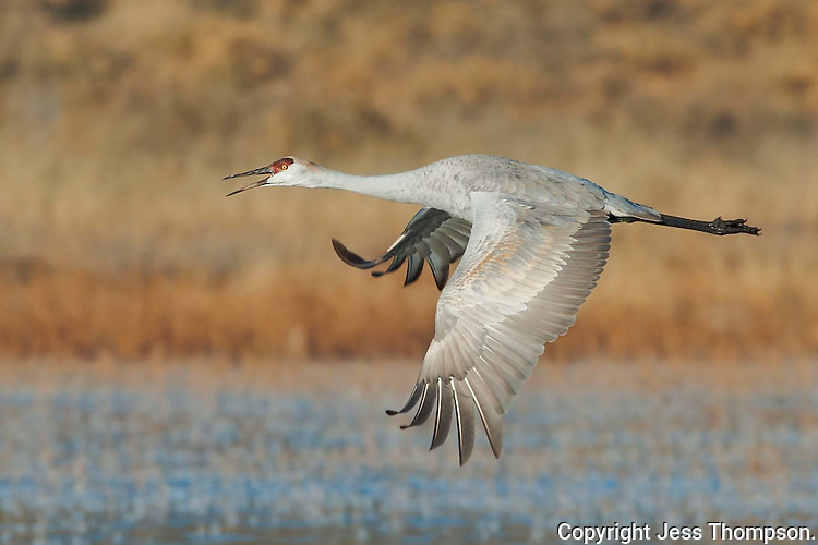 Sandhill Crane at Bosque del Apache NWR, New Mexico.