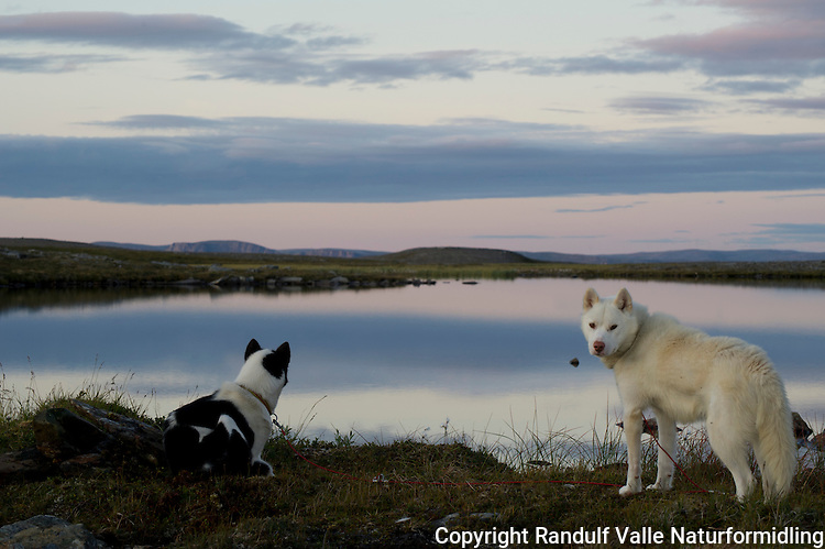 Grønlandshunder i solnedgang. ---- Greenland dogs at sunset.