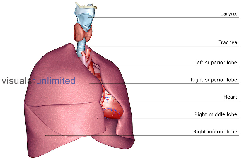 An anterolateral (right side) view of the respiratory system. The heart is also included. Royalty Free