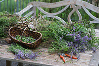 Echter Lavendel, Schmalblättriger Lavendel, Ernte, Kräuterernte, Lavandula angustifolia, Lavandula officinalis, Lavandula vera, Lavender, common lavender, true lavender, narrow-leaved lavender, La Lavande officinale, Lavande vraie, Lavande à feuilles étroites