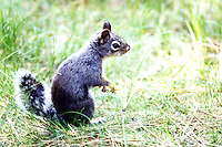 Squirrel - Chickaree