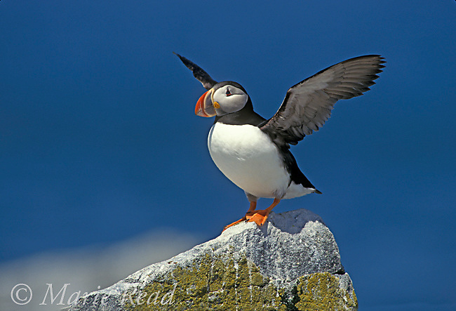 Atlantic Puffin (Fratercula arctica), adult flapping its wings, Machias Seal Island ME/NB, USA/Canada<br /> Slide # B62-103