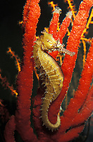 ng398. Barbour's Seahorse (Hippocampus barbouri). Scripps Aquarium, California. captive animal, aquarium photo..Photo Copyright © Brandon Cole. All rights reserved worldwide.  www.brandoncole.com..This photo is NOT free. It is NOT in the public domain. This photo is a Copyrighted Work, registered with the US Copyright Office. .Rights to reproduction of photograph granted only upon payment in full of agreed upon licensing fee. Any use of this photo prior to such payment is an infringement of copyright and punishable by fines up to  $150,000 USD...Brandon Cole.MARINE PHOTOGRAPHY.http://www.brandoncole.com.email: brandoncole@msn.com.4917 N. Boeing Rd..Spokane Valley, WA  99206  USA.tel: 509-535-3489