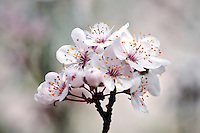 Purple Leaf Plum Blossum