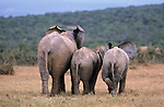 Elephant calves, Loxodonta africana, Addo national park, South Africa