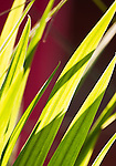 Spring light and colour, Backlit Grass