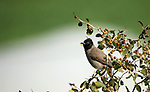 Bulbul bird perch on branch, in the village of Kardala near the West Bank city of Tubas, January 23, 2019. The bulbuls are a family, Pycnonotidae, of medium-sized passerine songbirds. The family is distributed across most of Africa and into the Middle East, tropical Asia to Indonesia, and north as far as Japan. Photo by Shadi Jarar'ah
