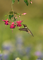 Black-chinned Hummingbird (Archilochus alexandri), adult male feeding on blooming Fuchsia, Hill Country, Texas, USA