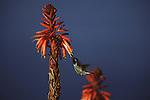 Anna's Hummingbird drinking nectar in California.