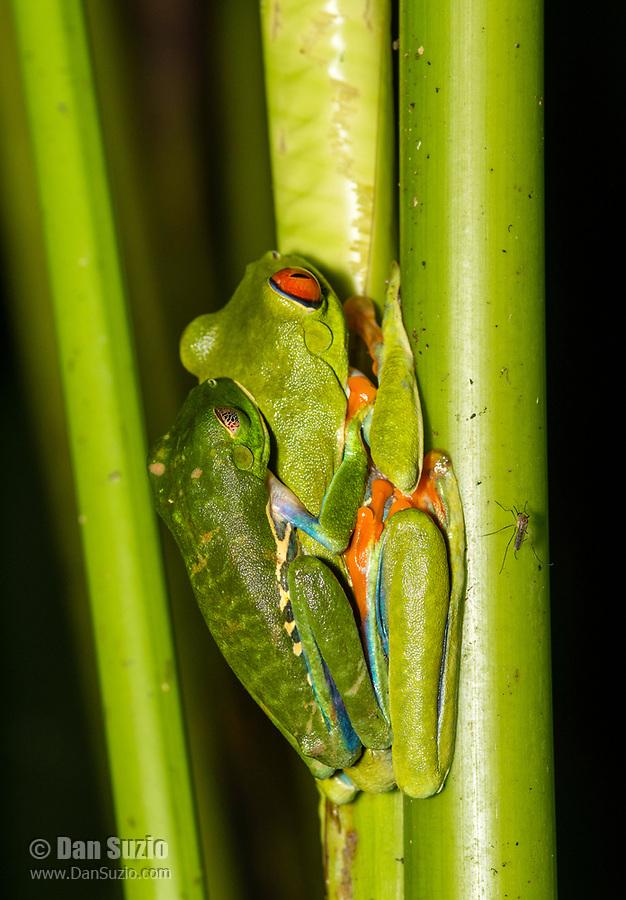 Red-eyed Treefrogs, Agalychnis callidryas, in amplexus (mating) in Tortuguero National Park, Costa Rica