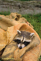 MA21-052x  Raccoon - young animal exploring in feed sack - Procyon lotor